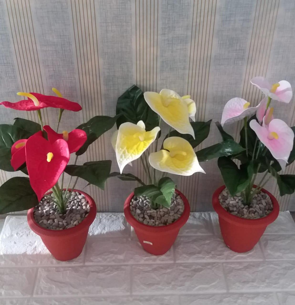 Bunga Anthurium Merah Kuning Pink Oemah Salma Dekorasi Solusi Cerdas Rumah Idaman